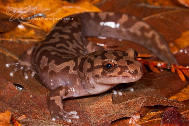Pacific Giant Salamander (Dicamptodon tenebrosus) | Flickr ...