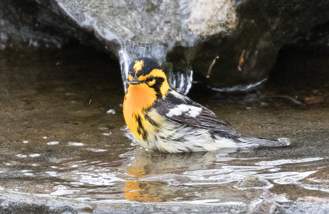 Blackburnian Warbler in birdbath