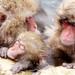 Spa Monkey / Jigokudani