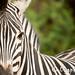 Madikwe Zebra