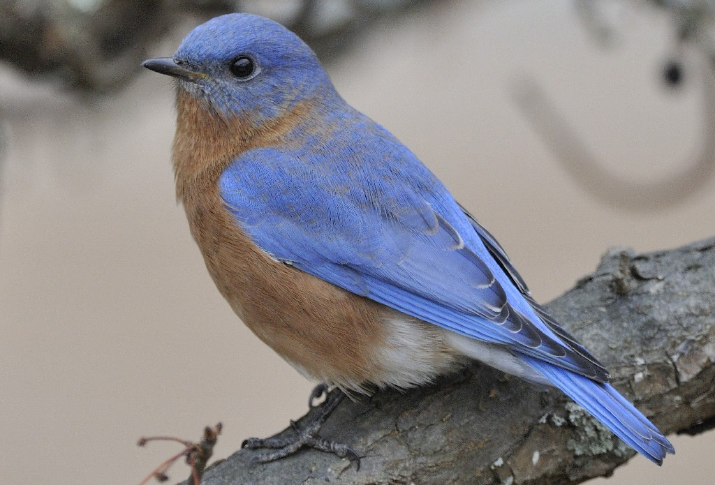 Photo of the week eastern bluebird ma photo of the for Mass fish and wildlife