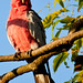 20120131 Pink Galah caught by early morning sun