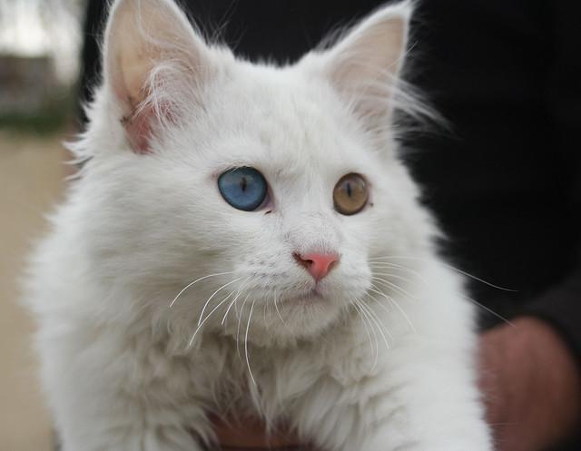 oddeyed cat flickr photo sharing