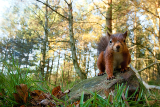 Red Squirrel with Autumn Leaves and Trees | by Will Nicholls