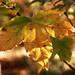 Sweetgum Leaf in Autumn