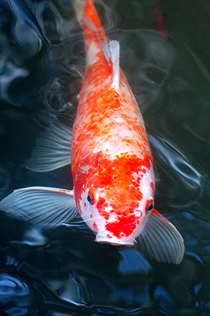 Red Wing Ford >> It's morning and my friendly Koi is waiting to be fed! | Flickr