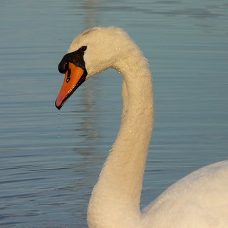 Mute Swan | by Dendroica cerulea