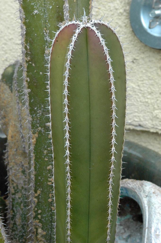 Pachycereus Marginatus 001 Family Cactaceae Genus