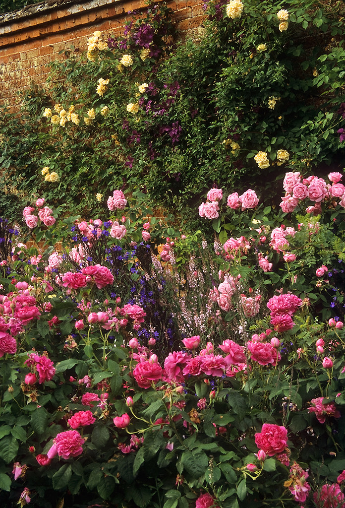 Roses In Garden: Mottisfont Abbey Rose Garden, Hampshire, England