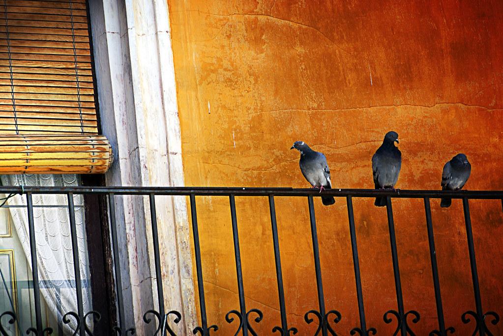 Paloma curiosa alguien abr a la puerta del balc n for Ahuyentar palomas del balcon