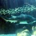 Ragged-tooth shark, Two Oceans Aquarium