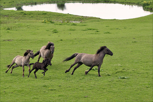 Playing Konik Horses | by Foto Martien