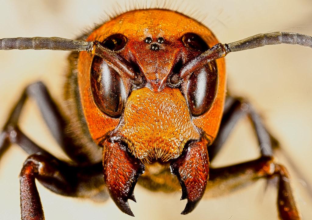 Vespa mandarinia japonica   Flickr - Photo Sharing!