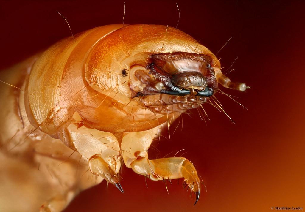 mealworm mehlwurm tenebrio molitor larva as in
