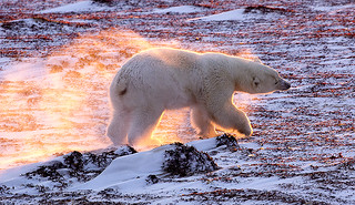 Polar Bear in Flames.  Global Warming / Climate Change? | by John Hallam Images