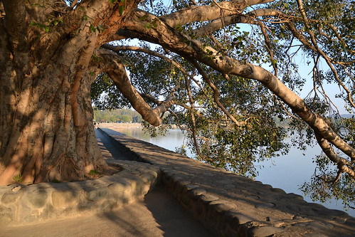 Peepal Tree at Sukhna Lake | by AshG2