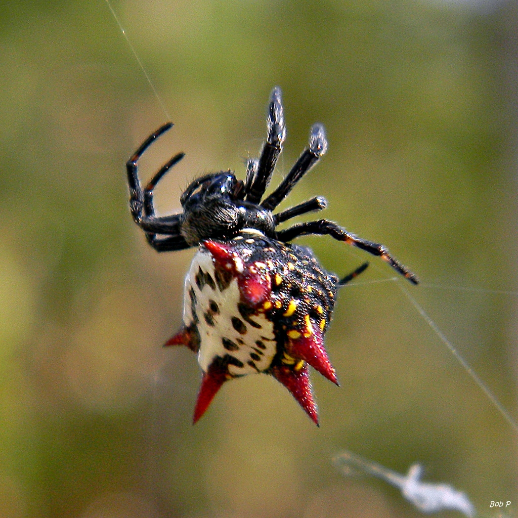 Spiny Orb Weaver (Gasteracantha Cancriformis)