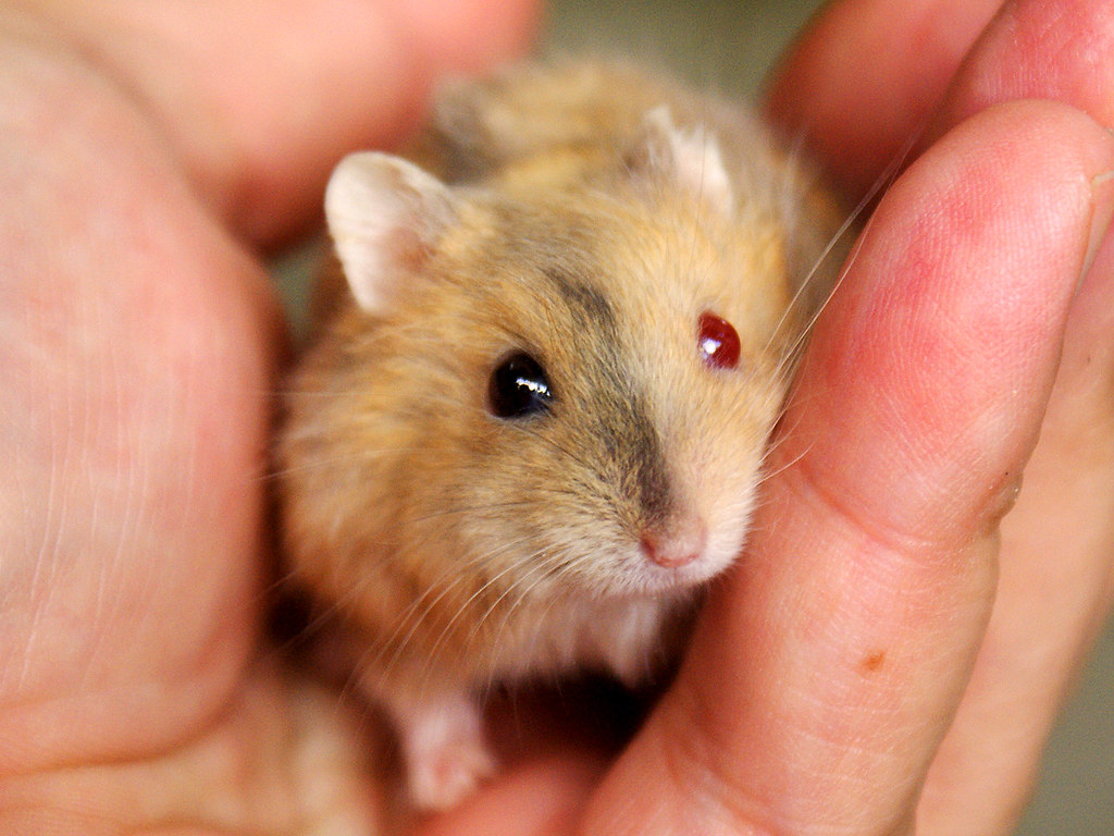 white dwarf hamster with red eyes - photo #24