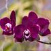 Purple Plus Orchids