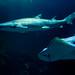 Sharks 03