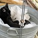 Mr. Midnight snuggled up in a vintage galvanized tub in the greenhouse 4