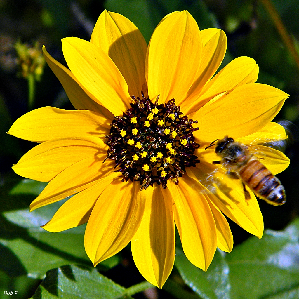 Beach Sunflower Helianthus Debilis Honey Bee On Her