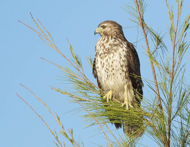 Red Tailed Hawk Perched Red-tailed Hawk perche...