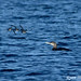 Ancient Murrelets & Yellow-billed Loon #4
