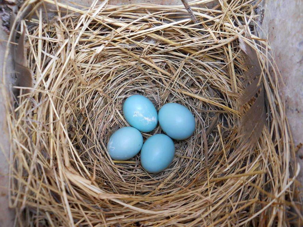 Blue Eggs In Nest Box A Peek Inside This Nest Box