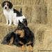 Bored beagle and stoic stock dog 2