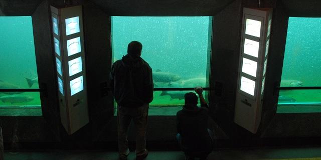 圖三:西雅圖巴拉德地區(Ballard)魚梯觀察室,人們在這裡可以觀察鮭魚洄游的景況。攝影:M.V.Jantzen。本圖適用CC-BY授權。