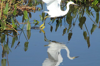 Snowy Egret | by The Migrant Naturali