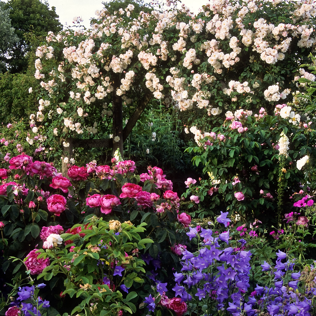 Roses In Garden: Mottisfont Abbey Rose Gardens, Romsey, Hampshire, UK