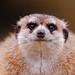 Funny furball meerkat