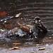 sparrow-bath