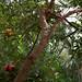 Dwarf Pomegranate (Punica granatum)