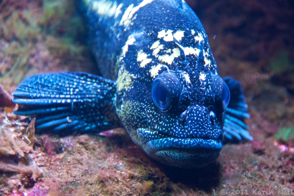 China Rockfish Shaw Ocean Discovery Centre Sidney Bc Karinnell Flickr