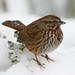 Snowy Song Sparrow