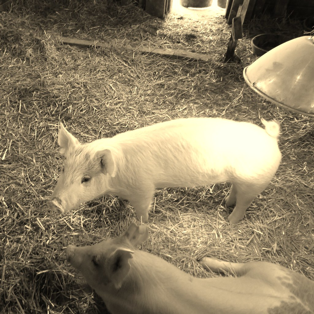 Pigs Two Pigs At Kidwell Farm Kidwell Farm Is Part Of