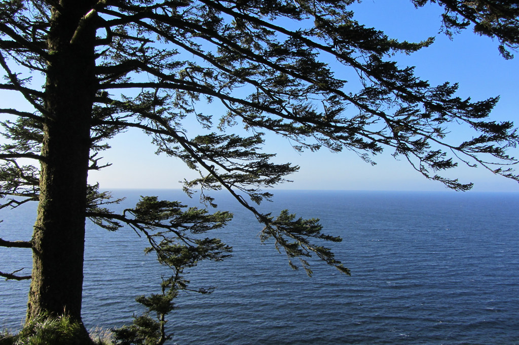 Sitka Spruce Leaning Over The Cliffs Of Tow Hill Looking T