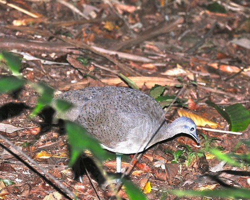 Great Tinamou | by VSmithUK