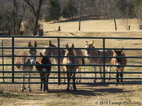 Six starving donkeys - FarmgirlFare.com | by Farmgirl Susan