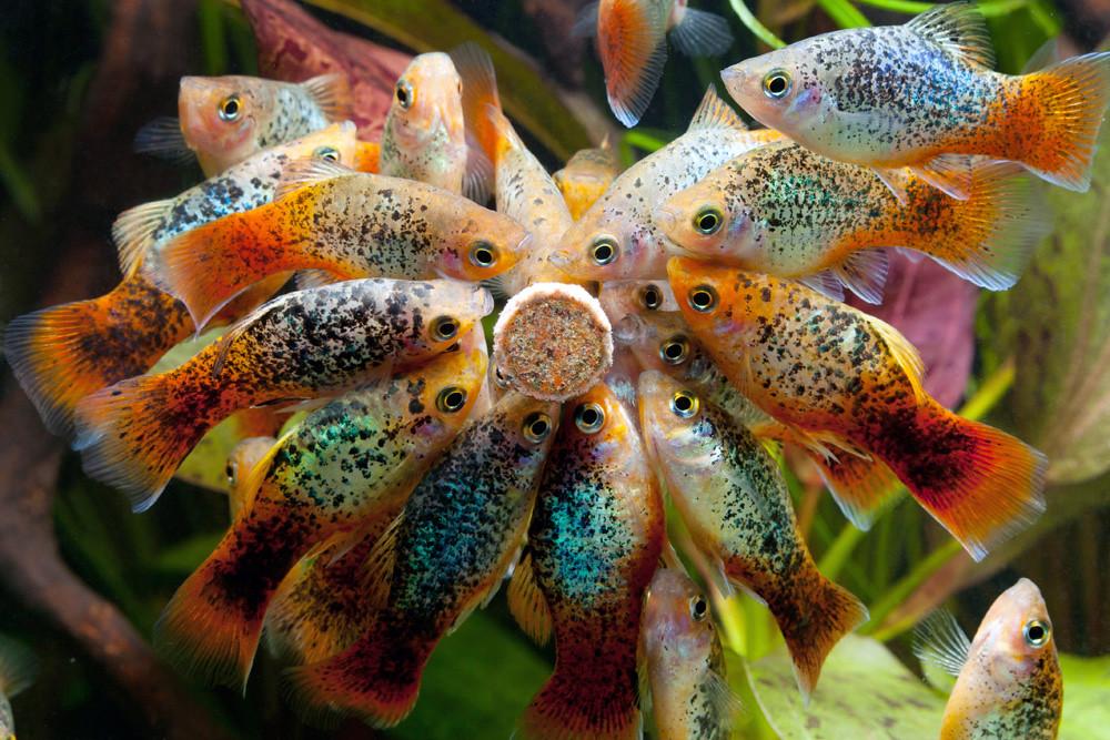 Platy xiphophorus maculatus groupe de platy l 39 heure for Acoiriome de poisson