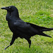 Government House tour- A crow stalking around the lawns.