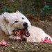 Eating white wolf