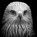 Black and White Red Kite