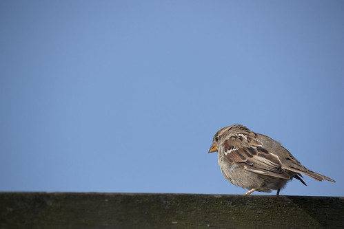 Sparrow on a sunny day | by Kitty Terwolbeck