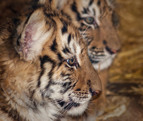 Tiger cubs | by Podsville