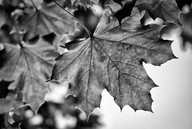 Maple Leaves, Black & White | Flickr - Photo Sharing!