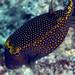 67_adj_DSC3662 boxfish